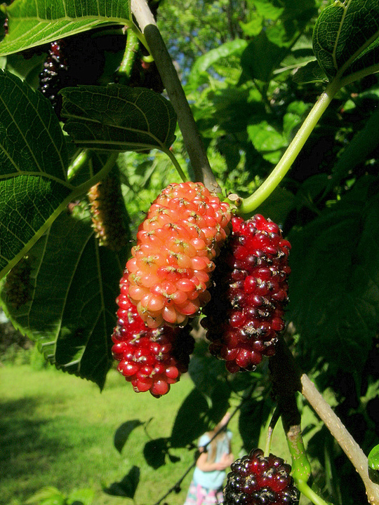mulberries, duh.