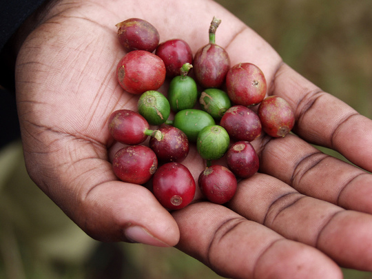 Hand-picked coffee beans from Kenya