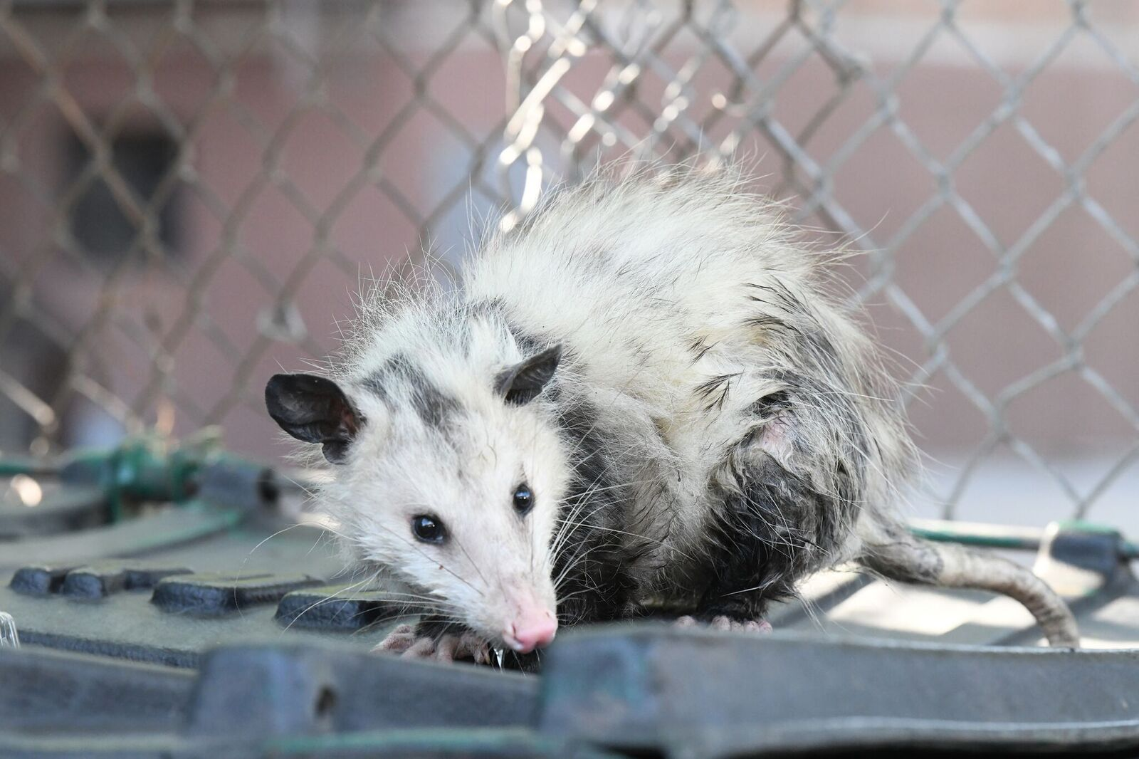 Playing Possum On Brooklyn Ave: Locals Help Stranded Marsupial