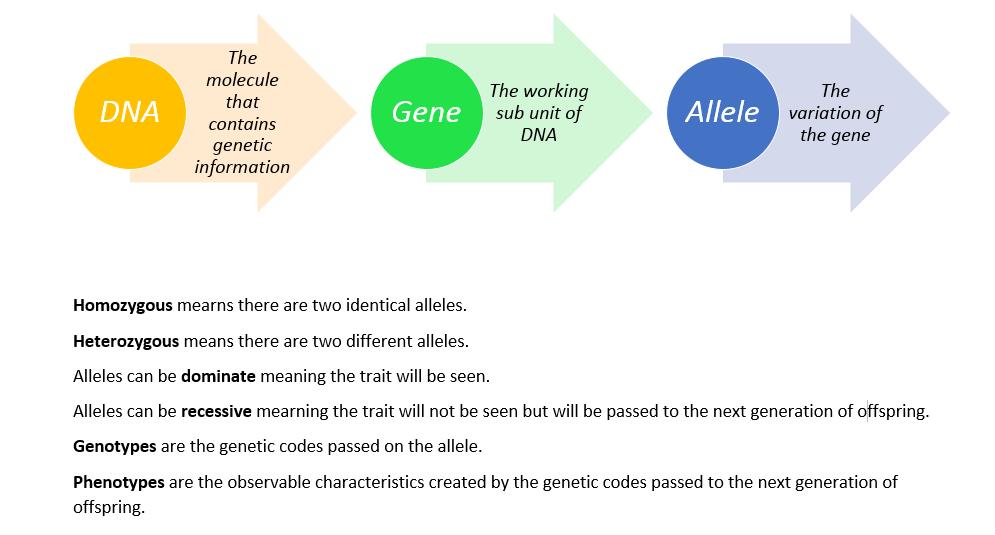 Lesson Genetics Introduction To Punnett Squares BetterLesson
