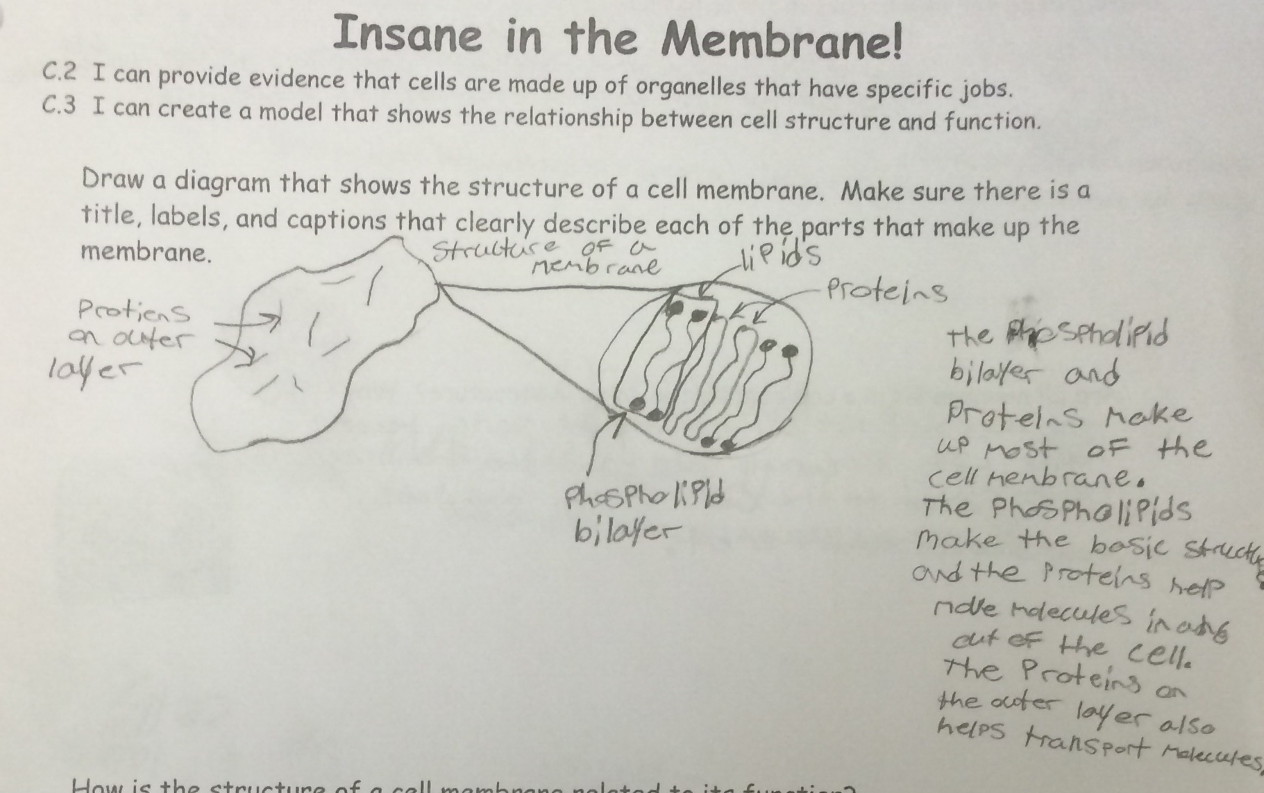 Lesson Insane in the Membrane – Cell Membrane Worksheet Answer Key