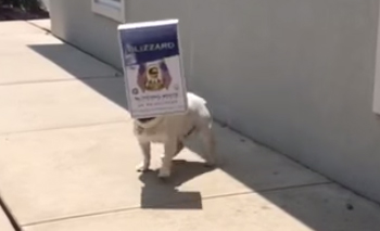 pet adoption articles: Diesel the Bulldog really likes boxes, even if they impair his vision