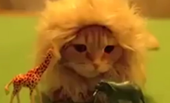 pet adoption articles: This King of the jungle is a very cute kitty-cat
