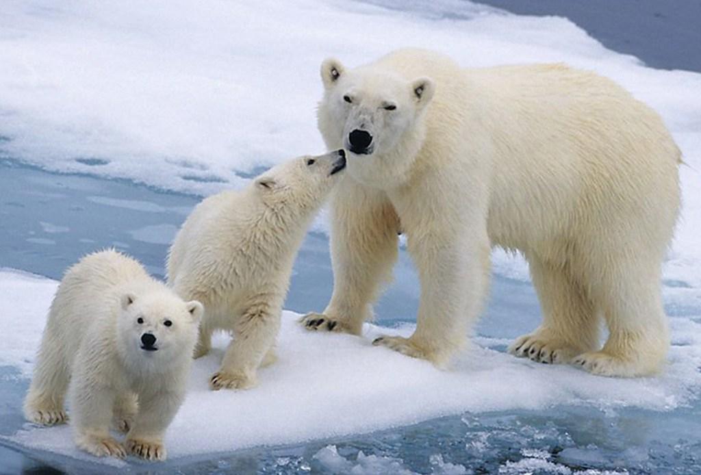 Una de las curiosidades sobre Canadá es que el 62% de los osos polares del planeta habitan ahí