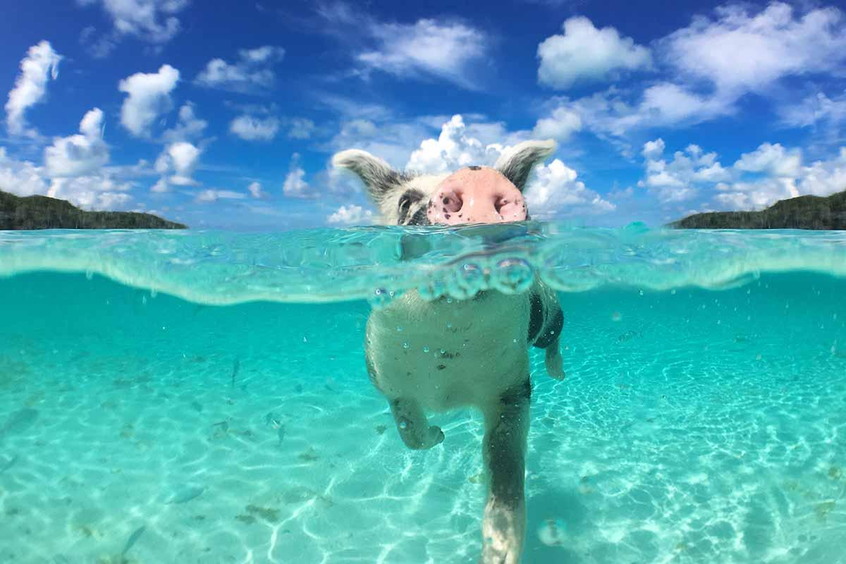 Cerdos nadando. Pig Beach podría estar en el top 3 de las playas más exóticas del mundo