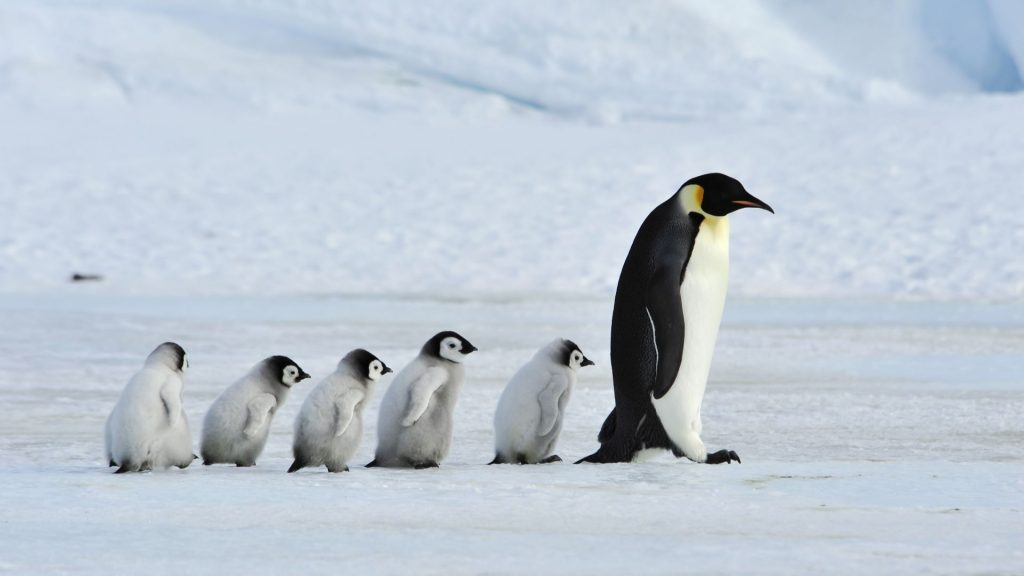 Família de pinguins