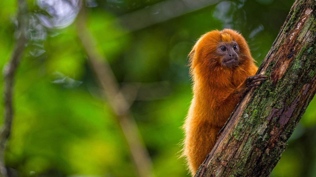 Mico leão dourado, animal típico do Brasil