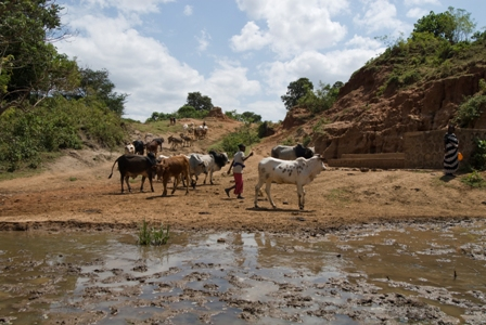 Heders lead their cattle to water in southern Ethiopia. Photo by Eva-Lotta Jansson