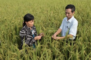 Le Ngoc Thach (right) checks a rice field with a farmer from his cooperative in Dai Nghia, Vietnam.