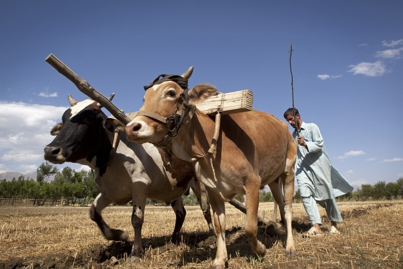 With no money for modern machinery--or access to electricity--many Afghans plow their fields using oxen. Photo by Jason P. Howe/Oxfam