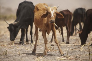"""""""This year, it has not rained much, so the pastures are not good enough,"""" says herder Etta Brahim Senussi. """"When an animal dies, it really hurts."""" Photo by Andy Hall/Oxfam."""