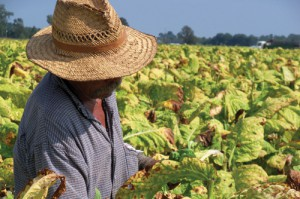 In the tobacco fields, sun and heat can take a serious toll on workers, especially if they don't get sufficient breaks or clean water. Photo by Briana Connors/FLOC.
