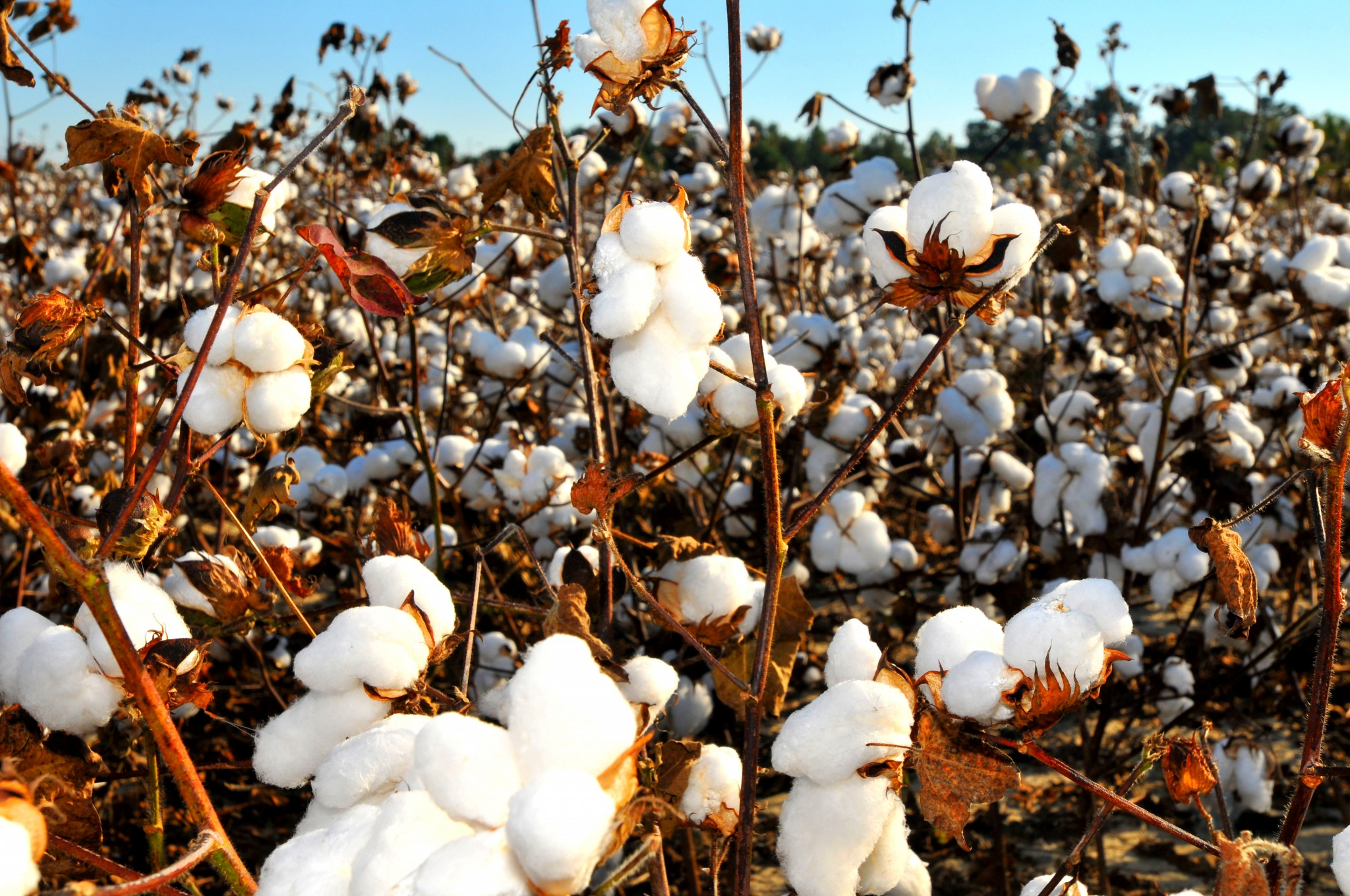 the impact of us cotton subsidies There have been assumptions made about subsidies – that they lead to a glut on   (1) the level of their financial dependency on the current us cotton farm  program:  and their impact on farmers of color in the us and the developing  world.