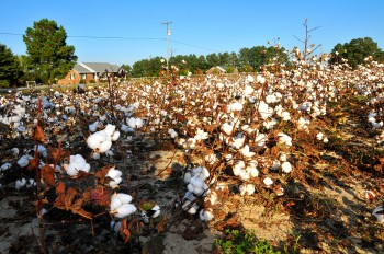 A cotton field in North Carolina. Photo: Liliana Rodriguez / Oxfam America