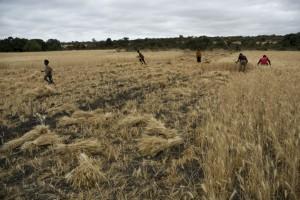 An Ethiopian wheat field in Oromia. Photo: Eva-Lotta Jansson / Oxfam America