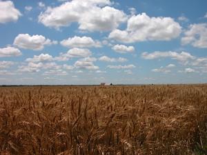 A US wheat field in Kansas. Photo via Flickr http://bit.ly/16AoUvd