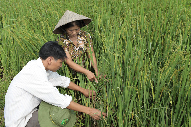 Vietnamese farmer Hoang Thi Lien, right, talks to Nguyen Van Do, at his SRI  farm in Dong Phu commune, My Duc district, Ha Tay province. Lien is a core farmer that gives instruction for and help other farmers to cultivate SRI rice. Photo: Chau Doan/ Oxfam America