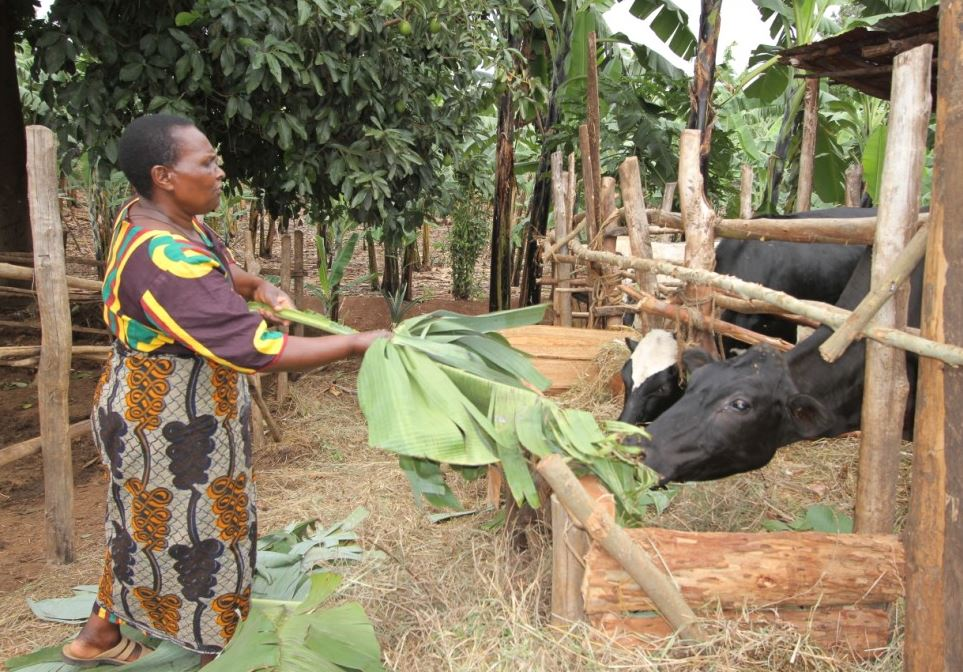 Aligaesha and two of her cows in the Karagwe District of northwest Tanzania.