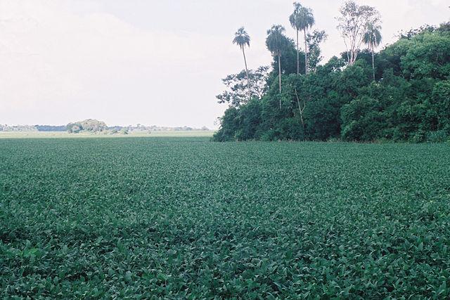 A soy field in Santa Rita, Paraguay. Source: Wikimedia http://bit.ly/15vEKCu