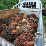 Palm oil fruit, PT Adei plantation  Pelalawan District, Riau province, Sumatra island, Indonesia. Palm oil company PT Adei, a subsidiary of Malaysian giant Kuala Lumpur Kepong (KLK), is being tried by the Indonesian government for setting fire to forests and peatland last year to make way for plantations in Riau province, on the island of Sumatra. The deforestation and land use change practices which PT Adei is accused are widespread across the country and release large amounts of CO2 emissions into the atmosphere contributing to climate change.  PT Adei is also accused by local people and NGOs of forcing local farmers from their land with little compensation, destroying forests used by the community to grow food,and polluting and destroying the river, vital to the food security and income of the communities where the company works. Photo: Des Syafrizal / Oxfam