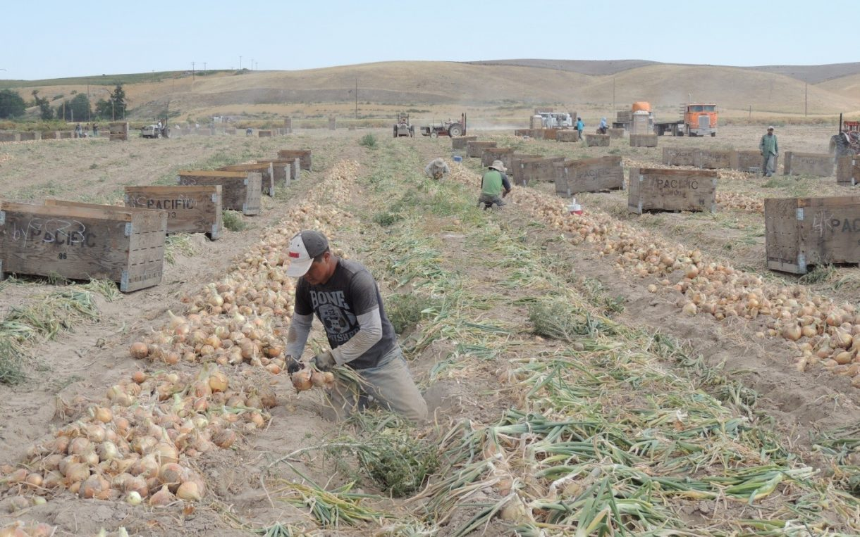 A farmworker in Washington works on a field of onions.