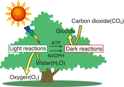 Photosynthesis equation studyfaq the chlorophyll molecules absorb energy from the light energy photons that reaches a plant and hence excites the electrons these electrons travel with an ccuart Gallery