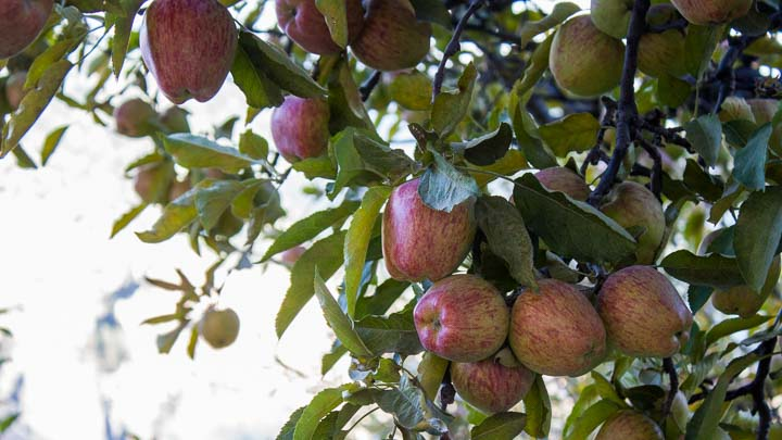 Apples from Mustang