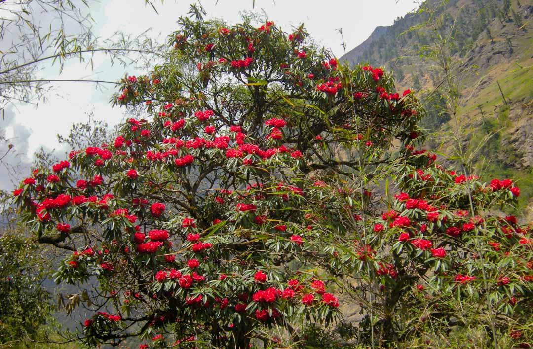 Tree Rhododendron aka Lali Gurans