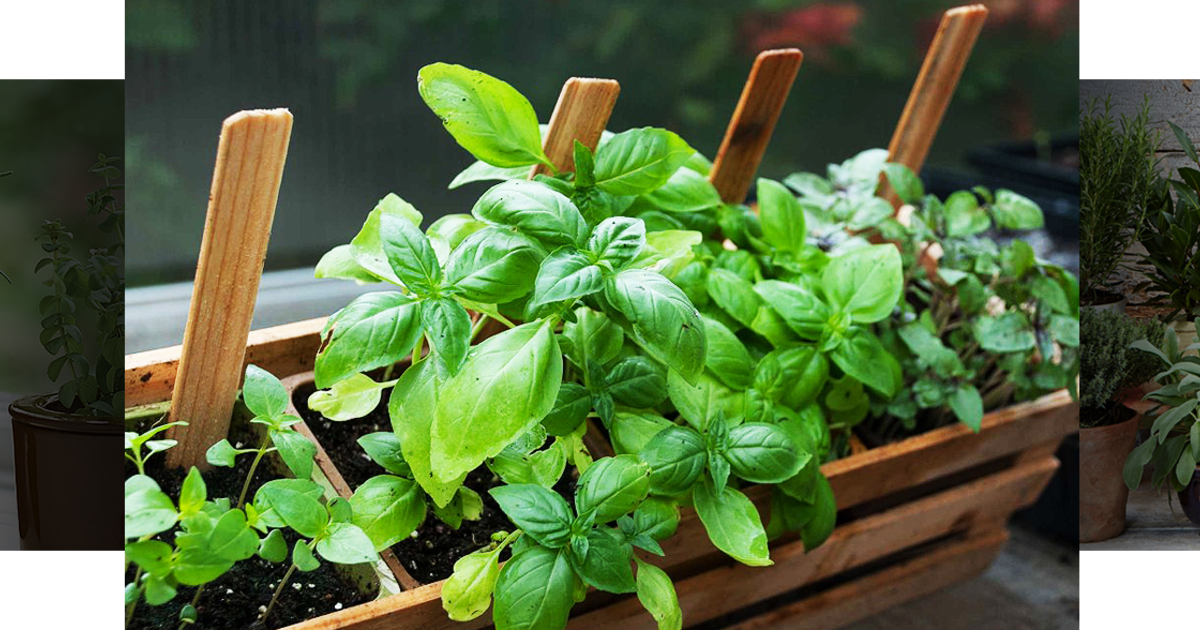 How to grow herbs without using chemicals