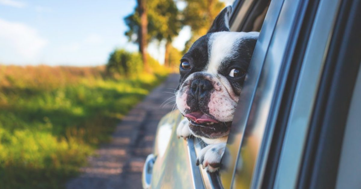 Dog riding in the car 1000x667