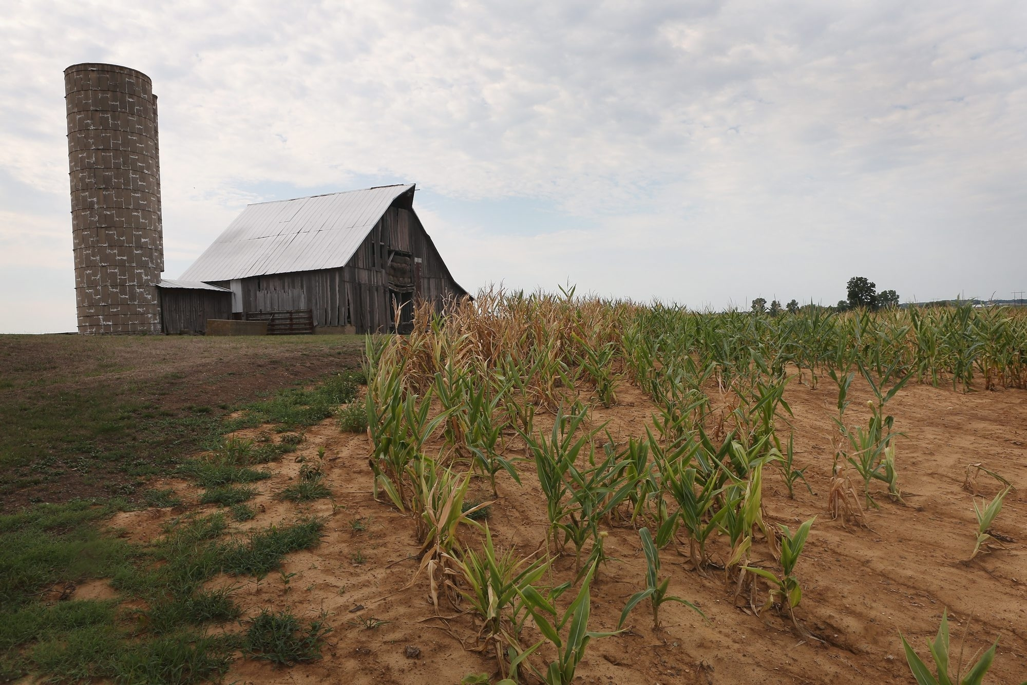 Getty Images    Drought-stricken corn struggles to survive on a farm near Poseyville, Ind., last month. More than half of the counties in the United States have been designated disaster areas, mostly due to drought conditions throughout the Midwest this summer.