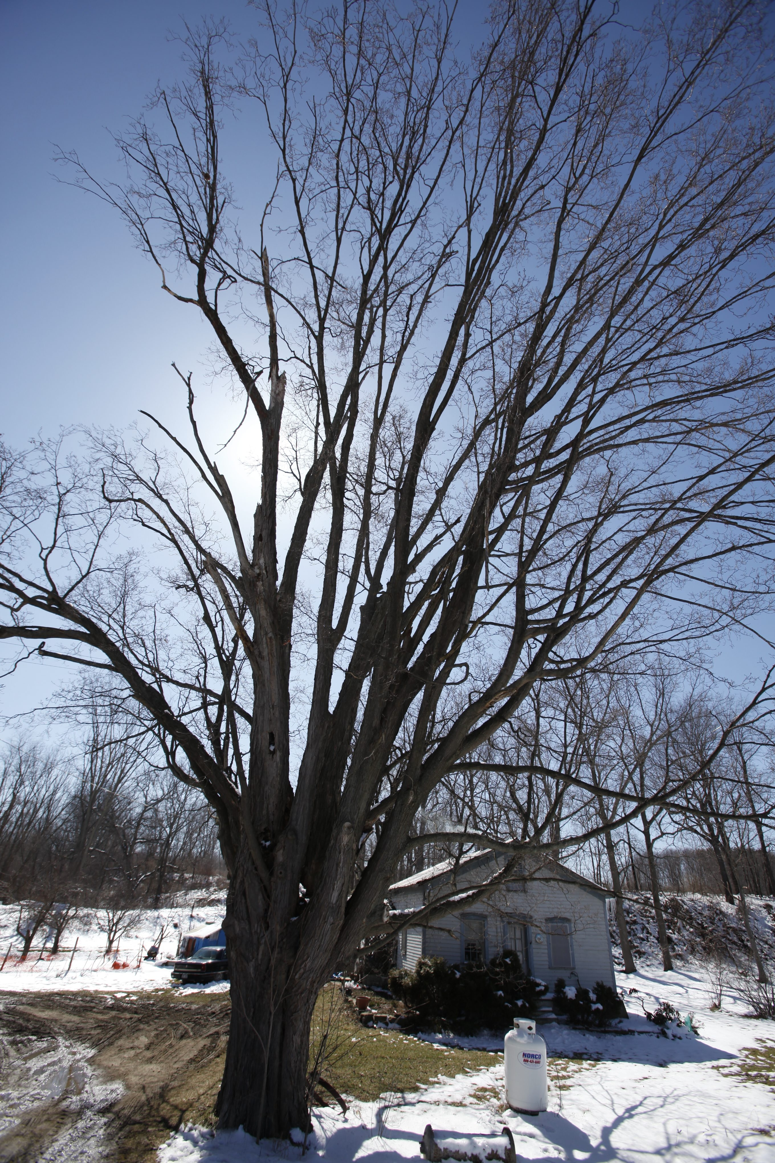 Harry Scull Jr./Buffalo News file photo    The 'Lincoln Maple' was planted by schoolchildren in the Town of Hanover after President Lincoln was assassinated in 1865.