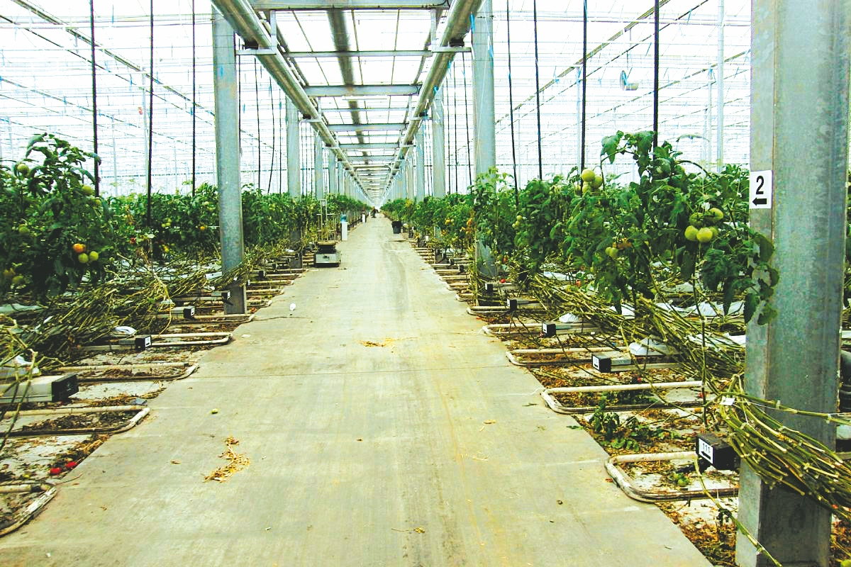 Hydroponic tomato plants are grown in Modern Corp.'s greenhouse.