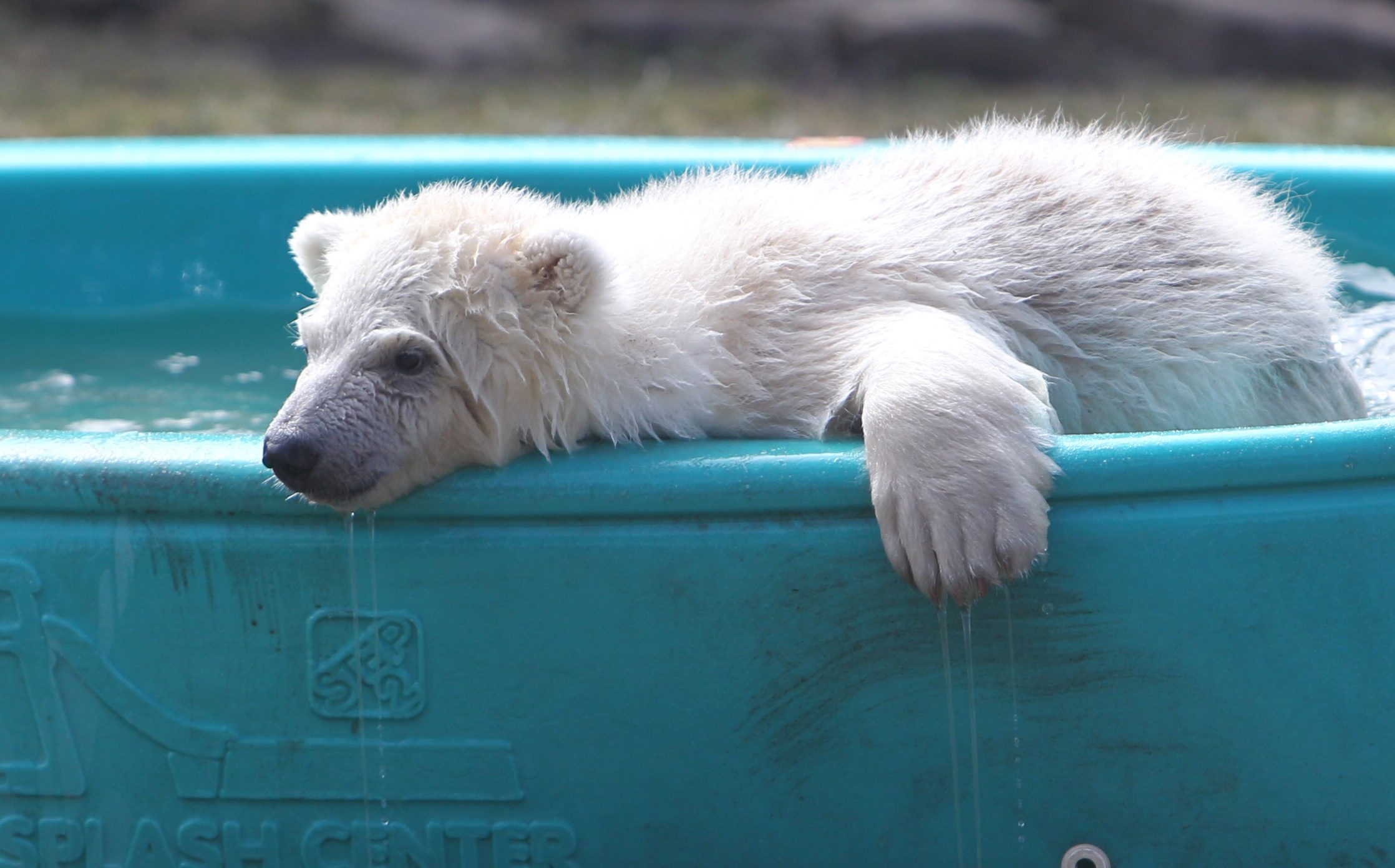 Luna the polar bear, who was given that name temporarily, will end up keeping it after a naming contest. (Sharon Cantillon/Buffalo News file photo)