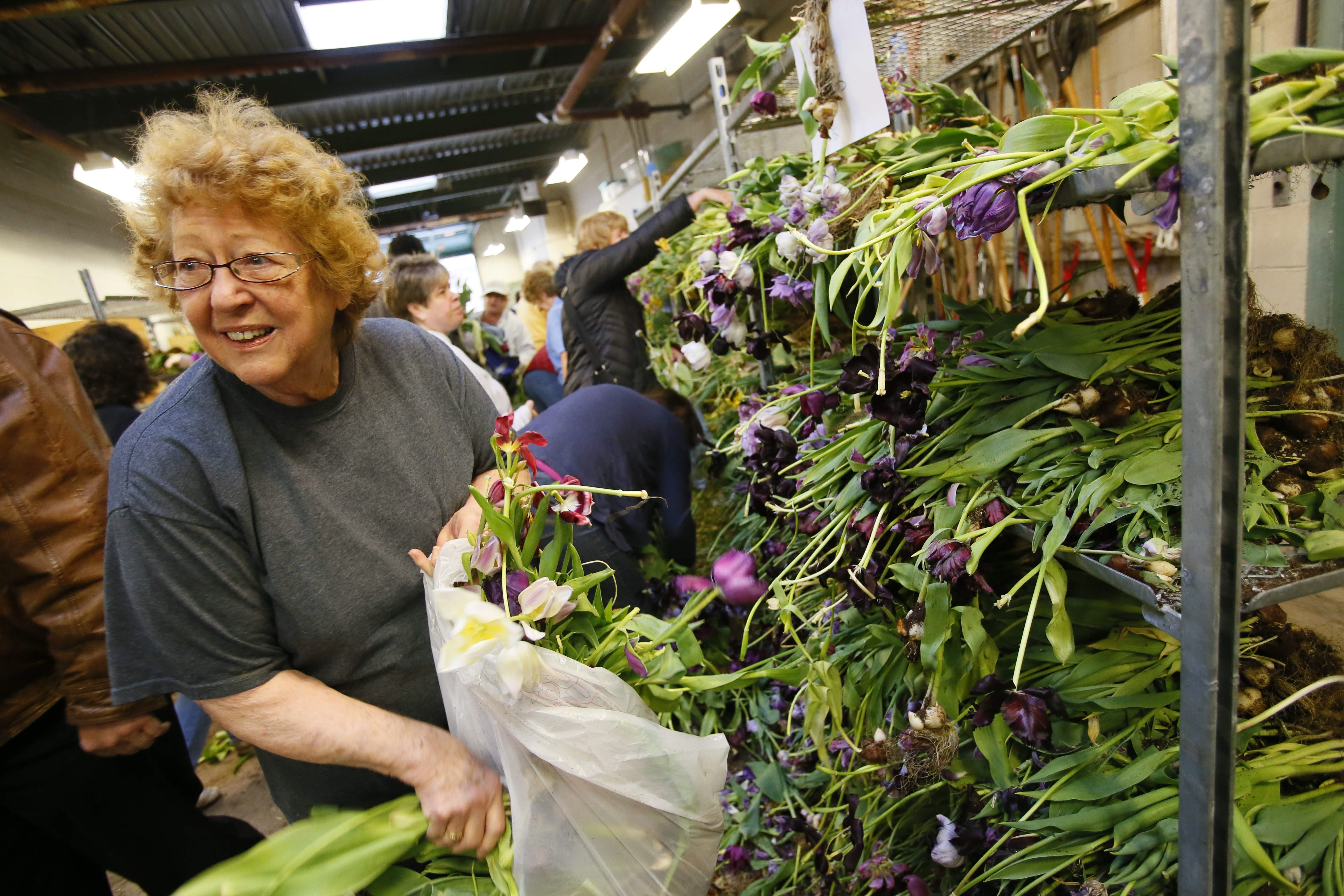 Sharon Colburn of East Aurora fills a bag with tulips at the annual spring bulb sale at the Botanical Gardens, Friday, April 19, 2013.  (Derek Gee/Buffalo News)