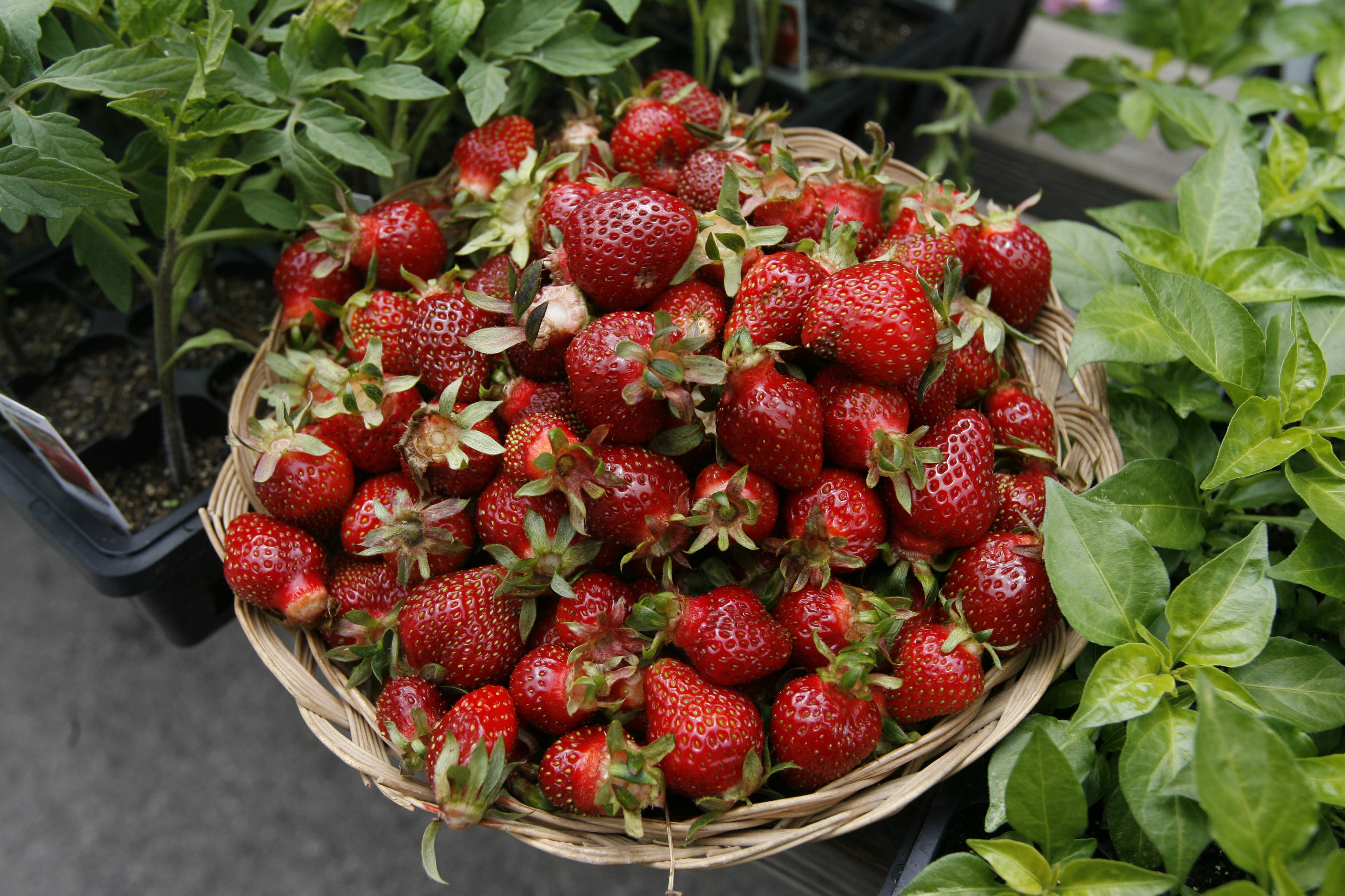 Locally grown berries are ripe for picking and using in a classic dessert like strawberry shortcake.