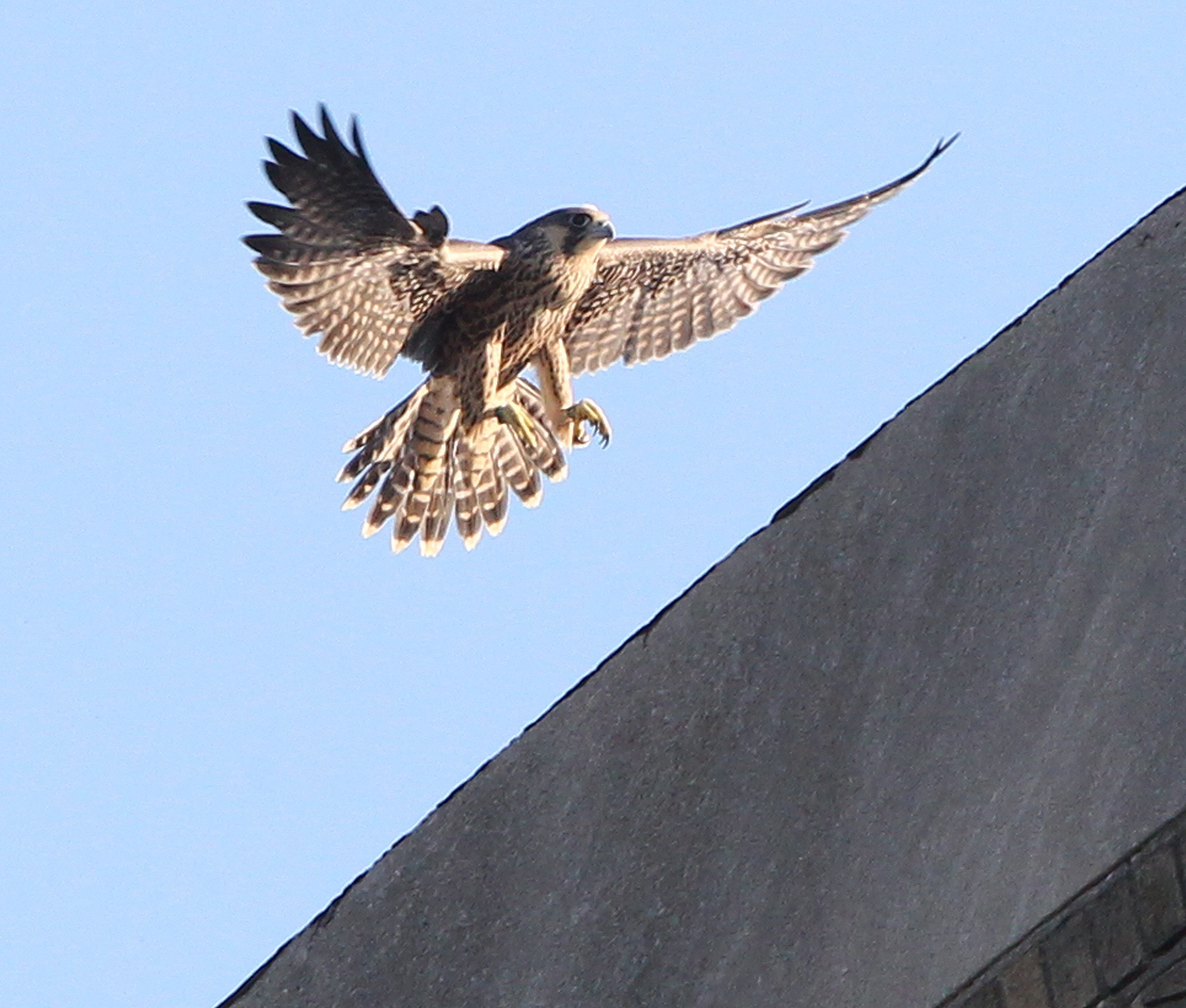 A peregrine falcon flies around the Central Terminal on Thursday.