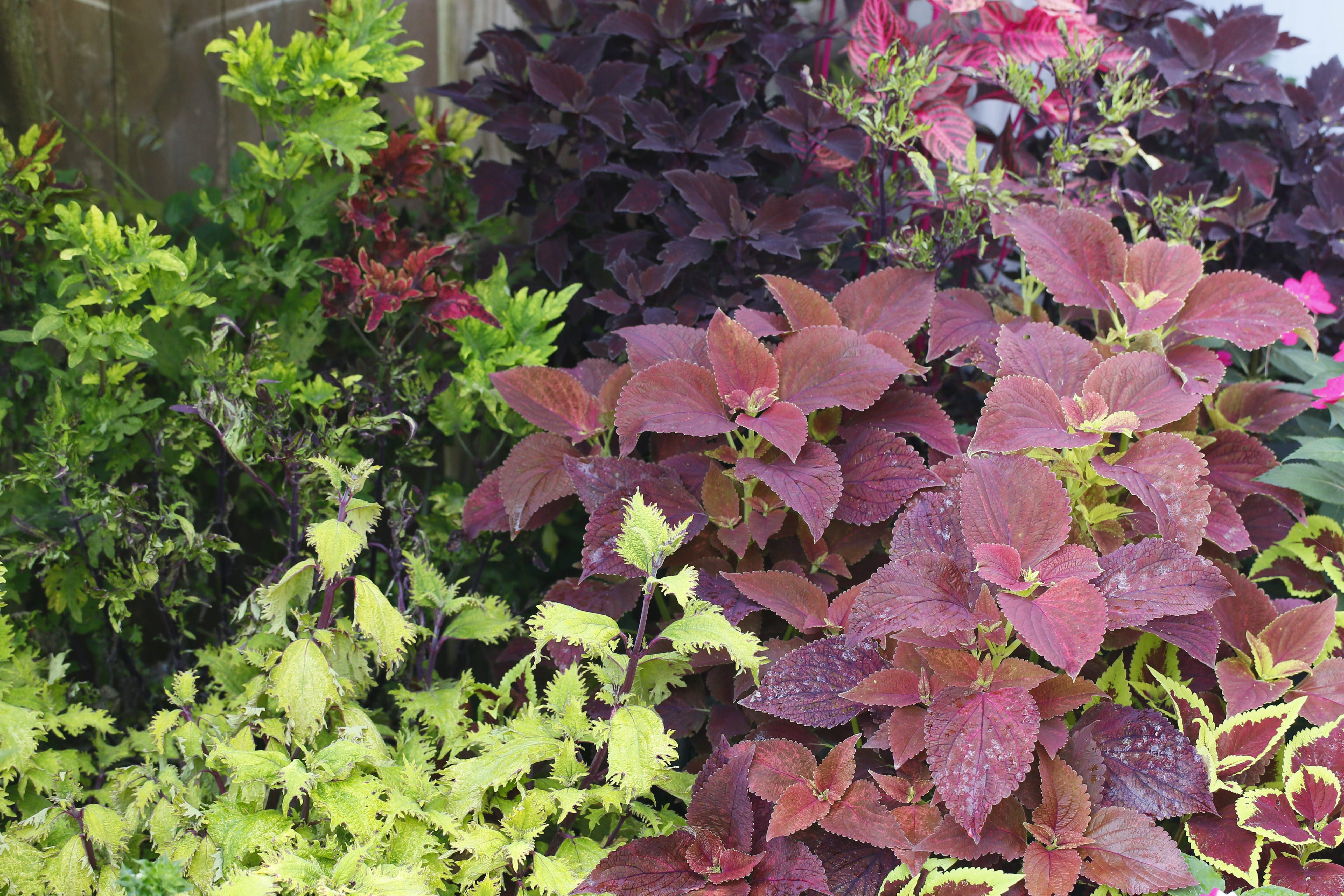 One of several types of coleus in the West Side garden of Joe Hopkins, Tuesday, July 23, 2013.  (Derek Gee/Buffalo News)