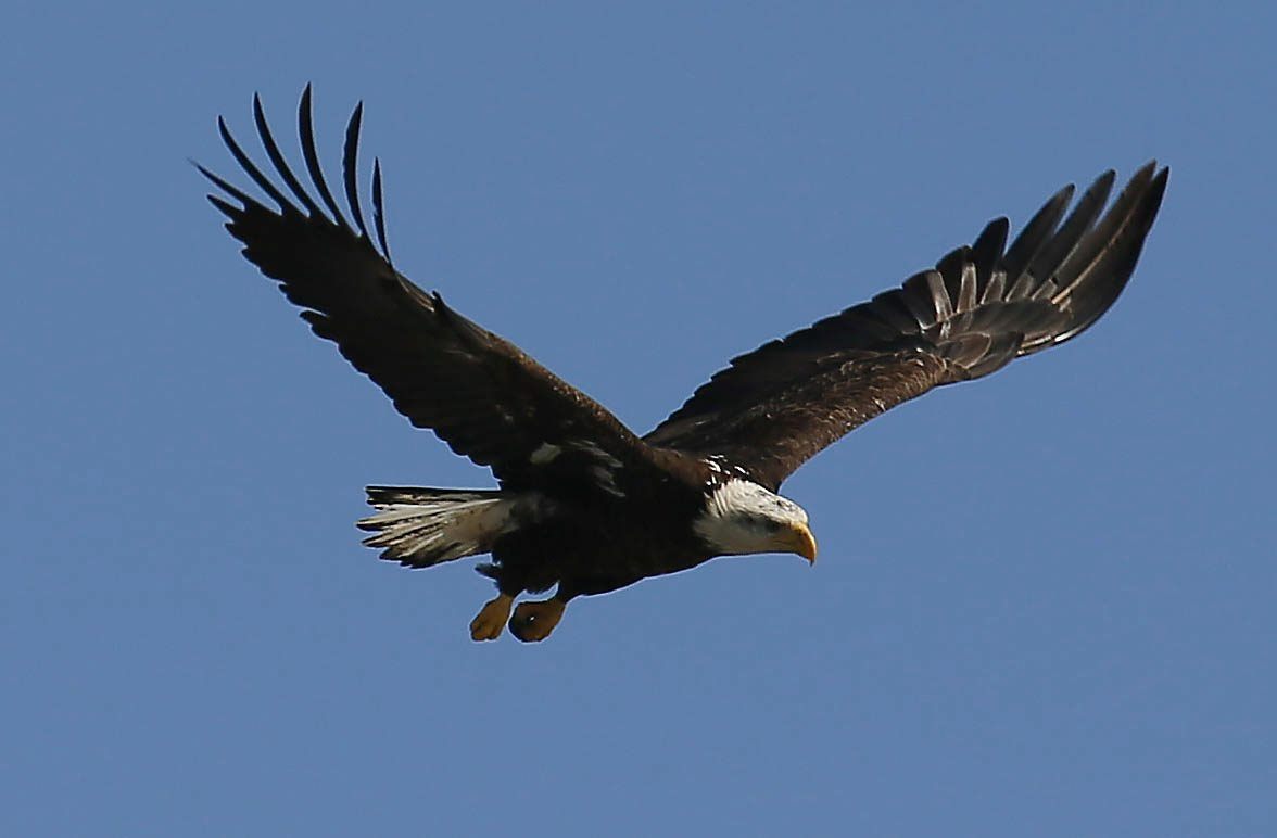 Eagles have nested on Strawberry Island after three years of trying.