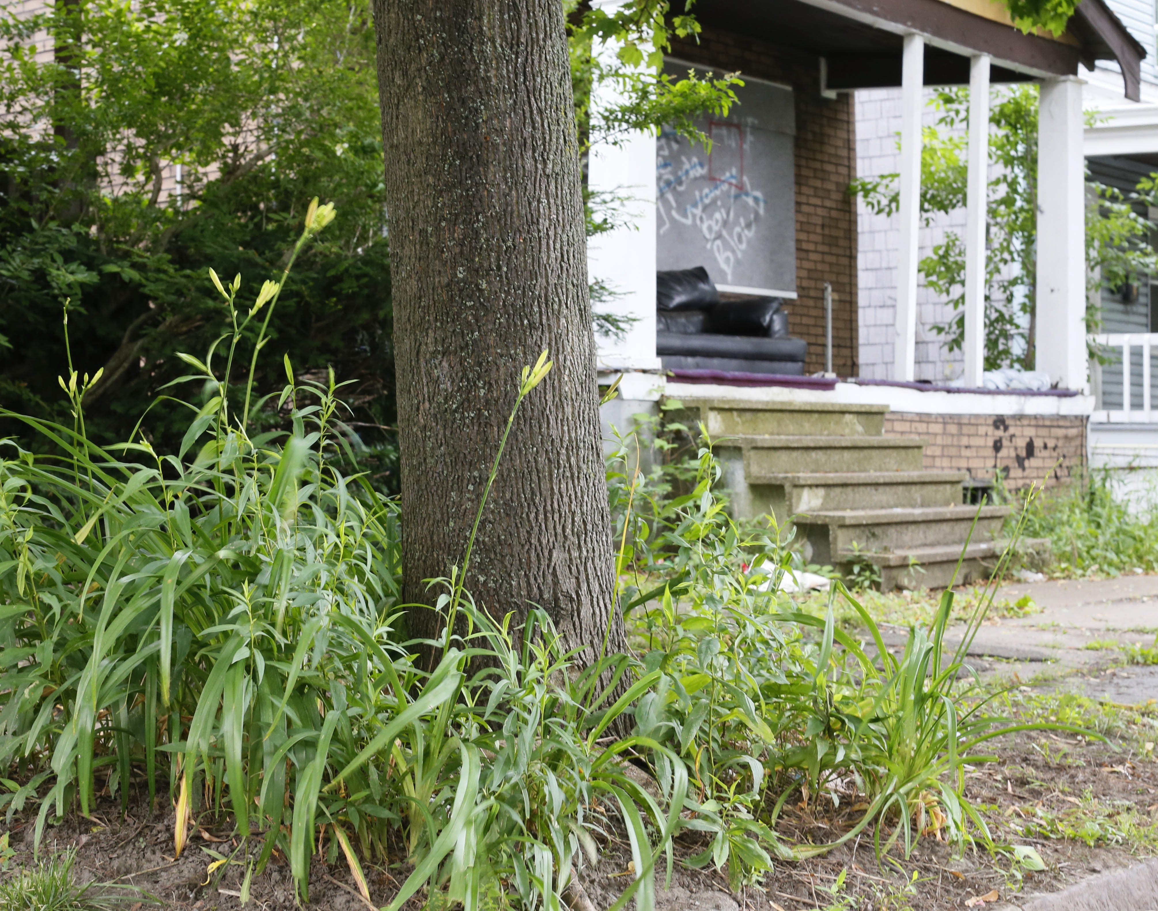 St. Joseph Avenue resident Clare Felsman was ticketed for these lilies planted around the tree in her front yard. Meanwhile, the city-owned house next door – in background – is vacant, boarded up and covered in graffiti.