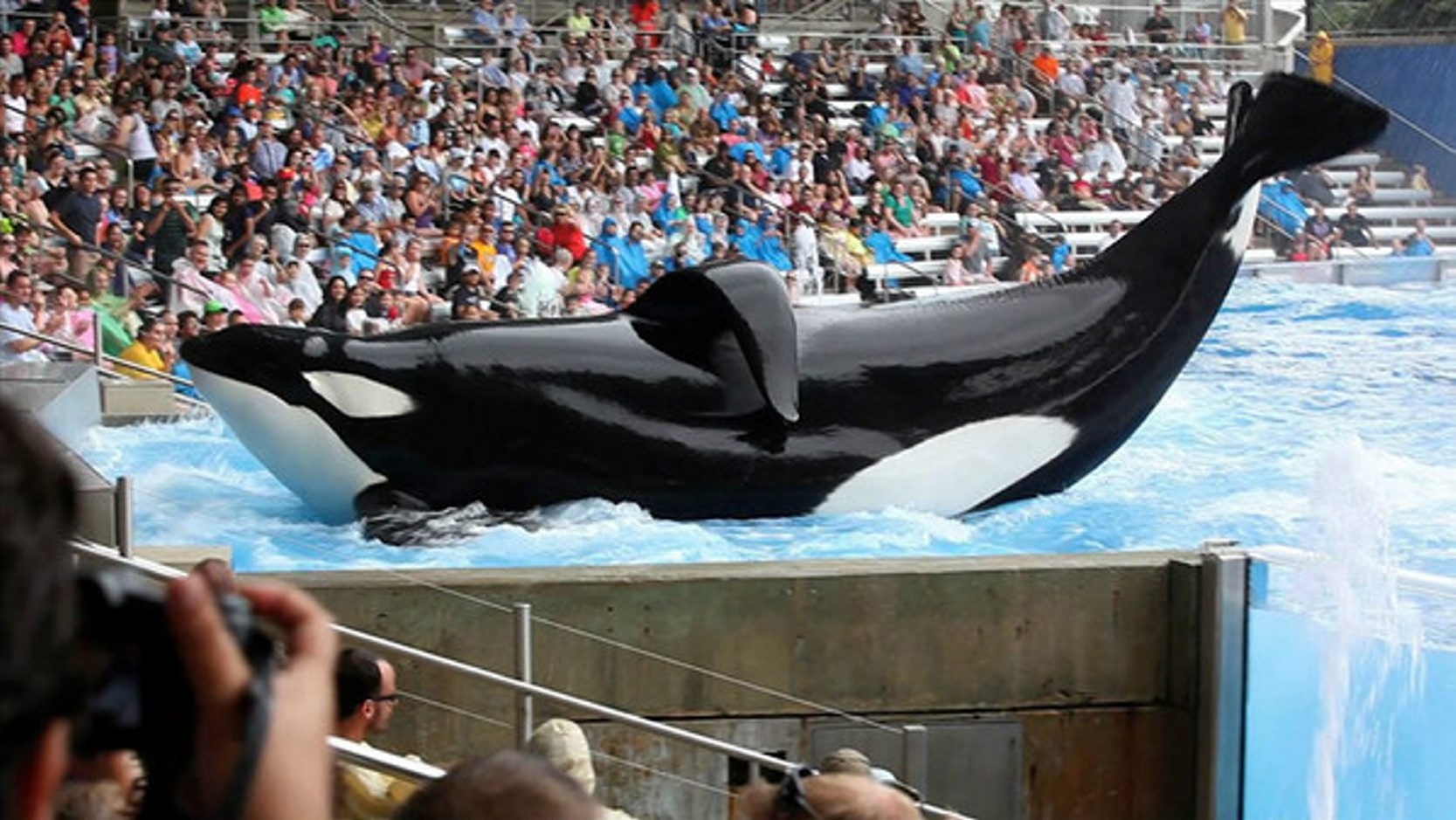 A still from the documentary 'Blackfish' shows SeaWorld star Tilikum, who still performs there.