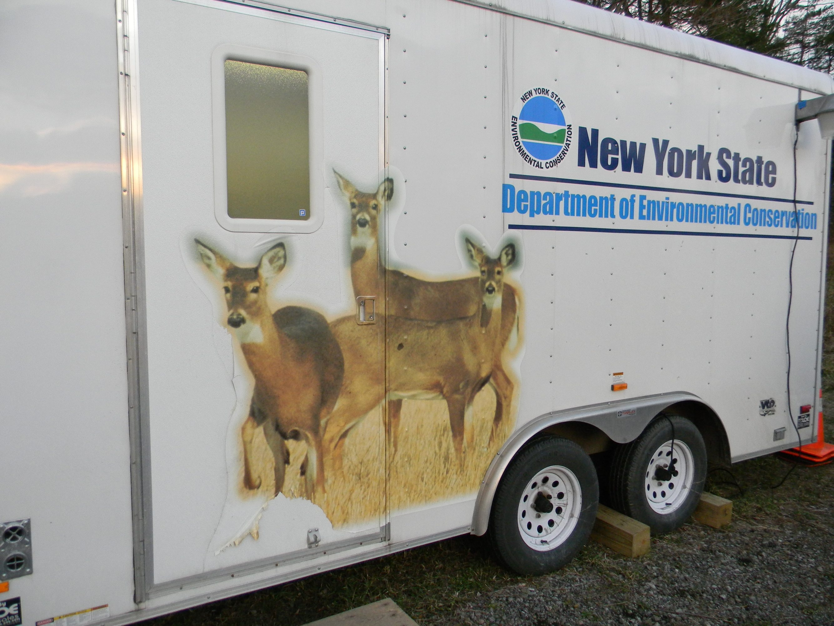 Hunters out during the start of bow hunting season will be seeing many doe deer as illustrated on a Department of Environmental Conservation check-station trailer.