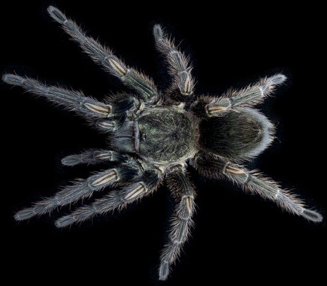The venom of the Peruvian green velvet tarantula contains useful toxins.