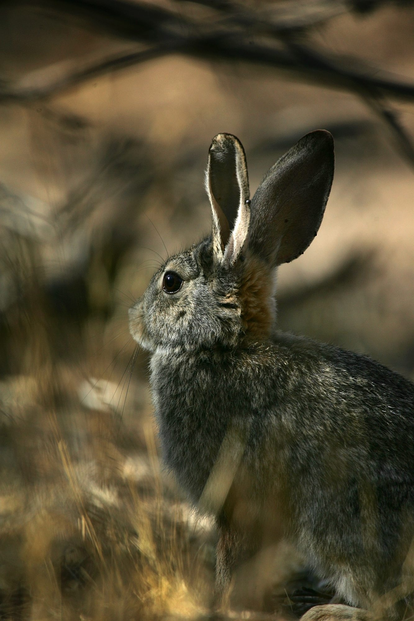 Nature Watch: Rabbits in the wild have short, difficult