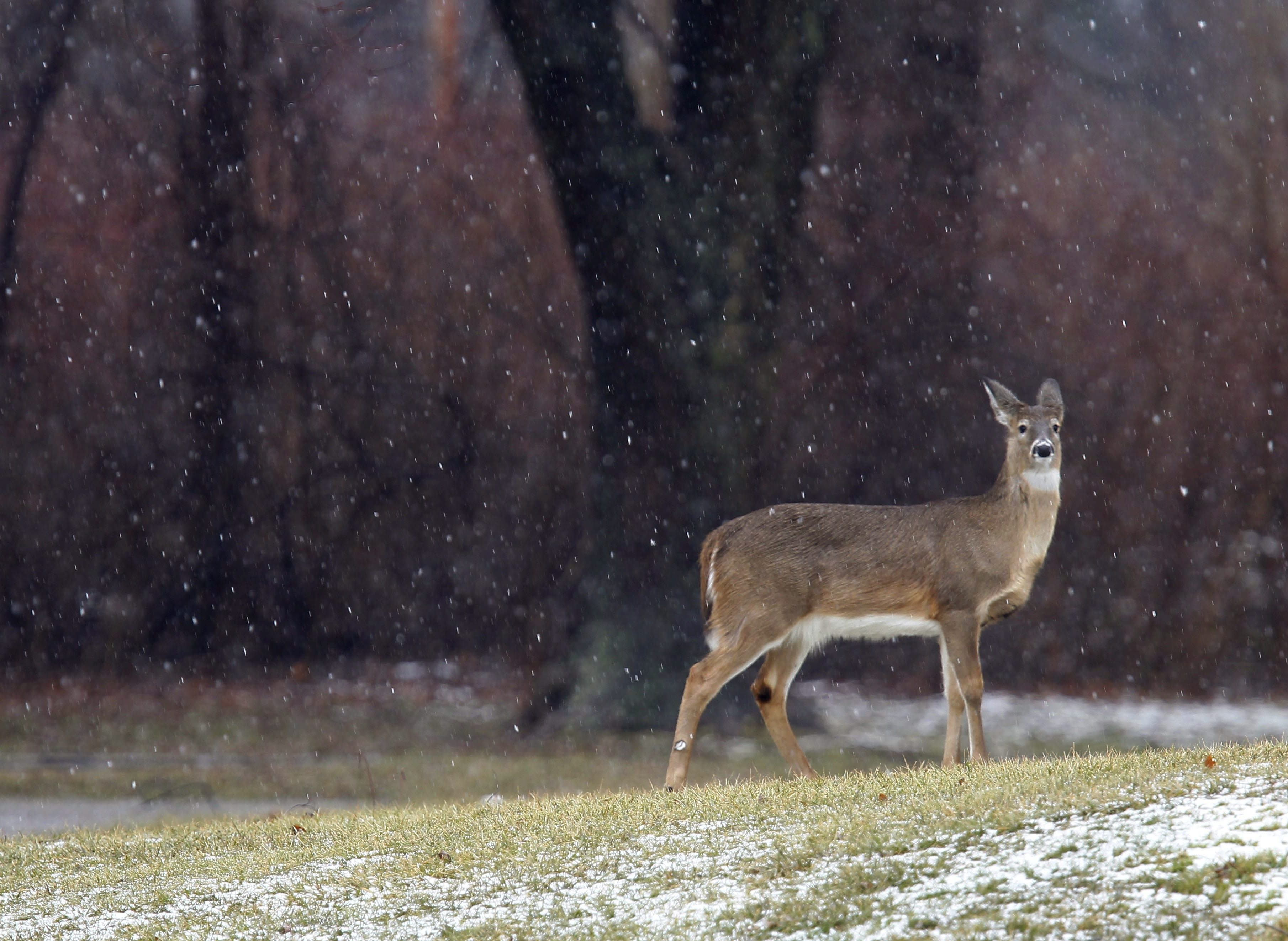 This deer likely has a taste for emerging tulips in a bulb bed.