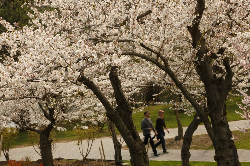 Patrick McLaughlin and Raeanne Fredericks of Buffalo pass cherry trees in full bloom in the Japanese Garden behind the Buffalo and Erie County Historical Society on Thursday afternoon, April 15, 2010.  {Photo by Derek Gee / Buffalo News}