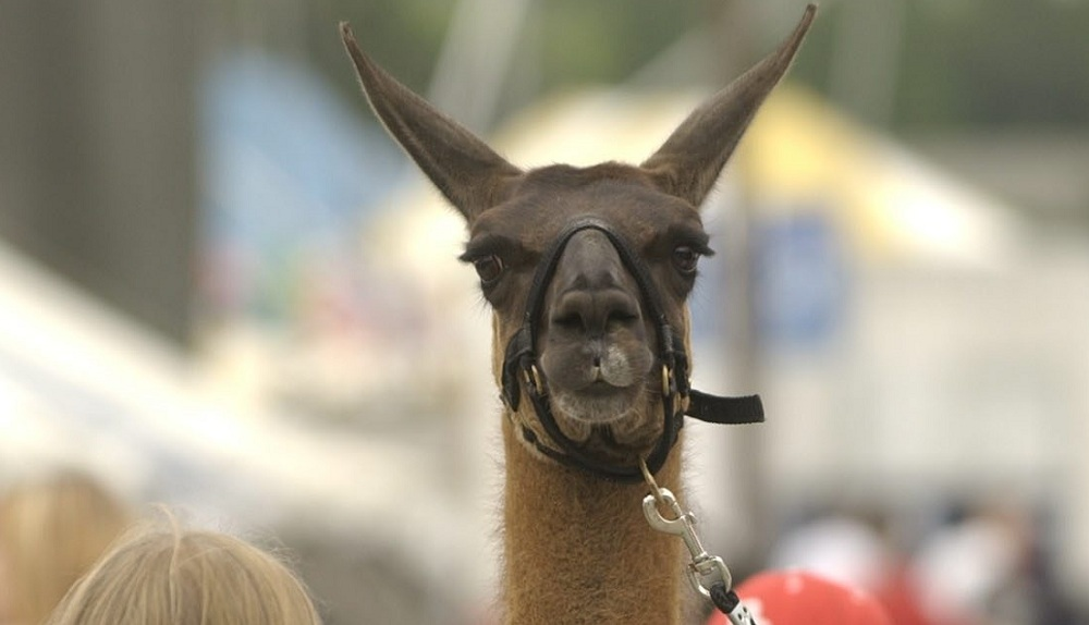 You could call today at the Erie County Fair: The Day of the Llama. (Sharon Cantillon / Buffalo News file photo)