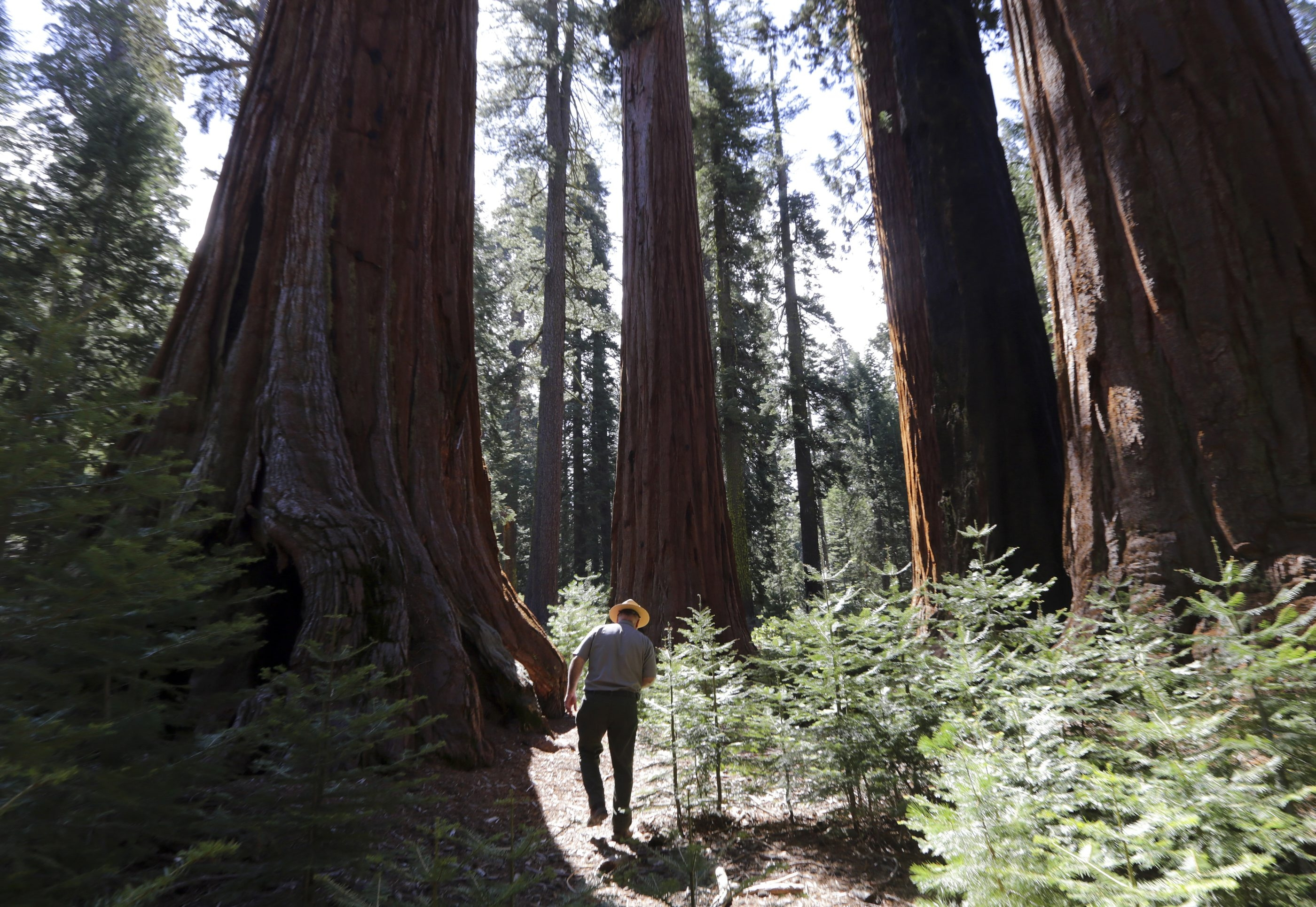 This group of sequoias in Yosemite National Park is called the Governor's Group. The National Park Service and the Yosemite Conservancy are teaming up on a $36 million project to remove a parking lot and a road that impinge on the grove's ancient sequoias.