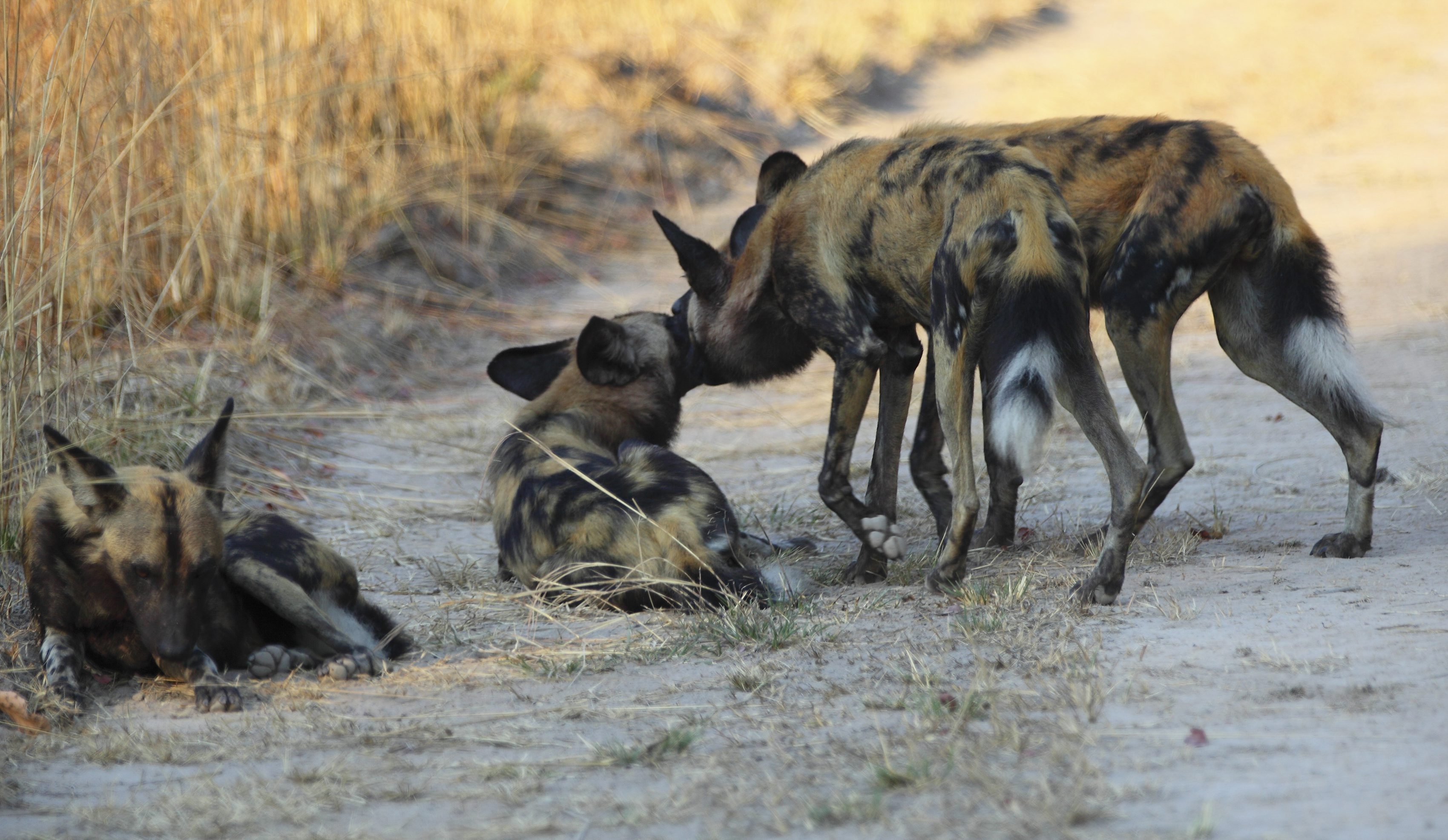 Wild dogs greet each other before a hunt at Kafue National Park in Zambia. The animals are exceptionally social and civic-minded, allowing pups to eat first and feeding injured pack members.