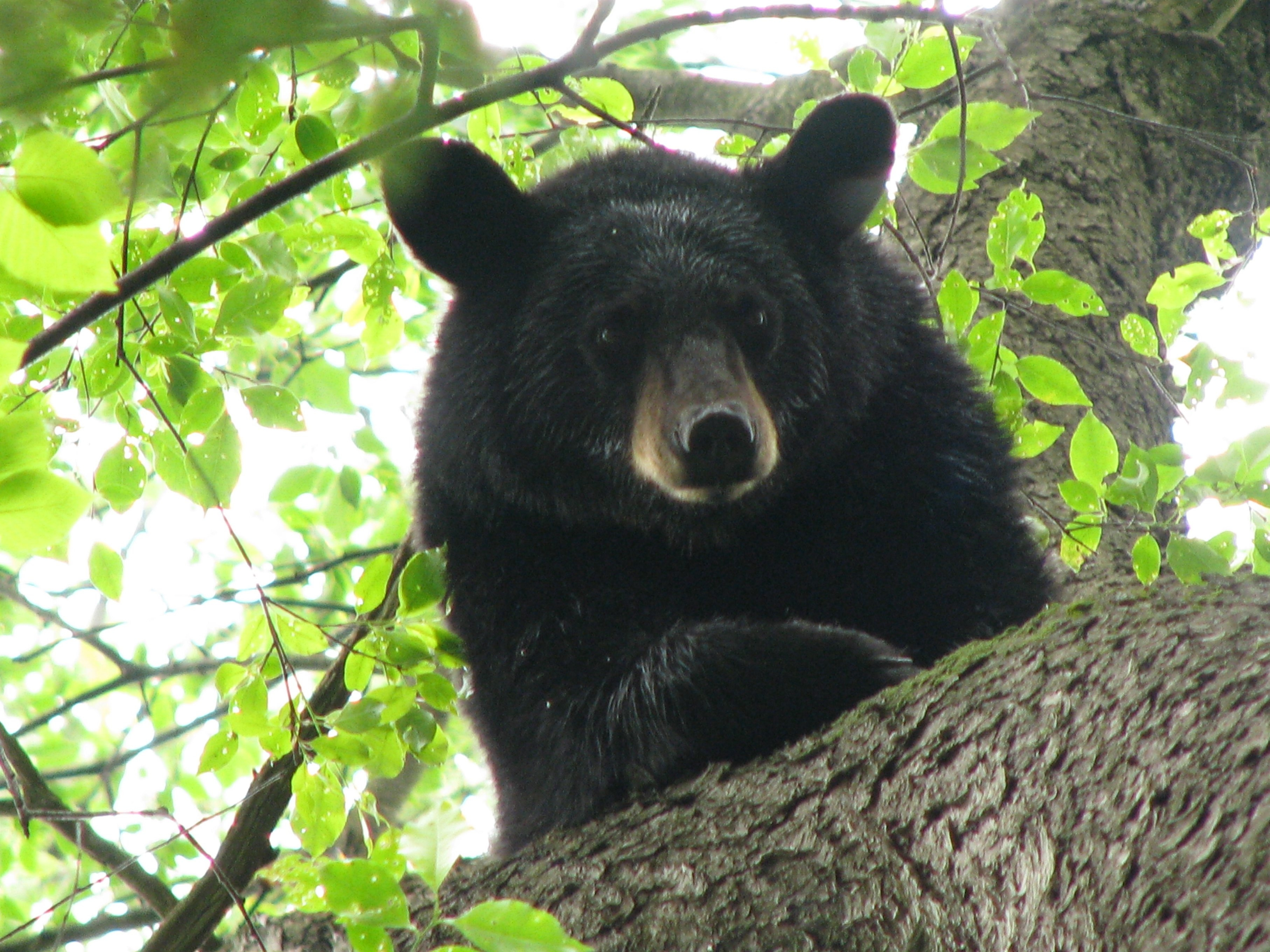 The rules have changed a bit when it comes to bear hunting, as the number of bears apparently has gone up.
